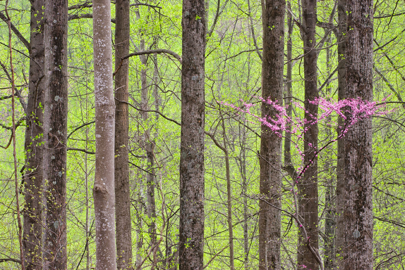 Emerging Spring Foliage in a Forest, with Eastern Redbud, Shenandoah National Park, Virginia, United States.