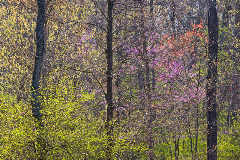 Backlit Emerging Spring Foliage, Bull Run Regional Park, Virginia, United States.