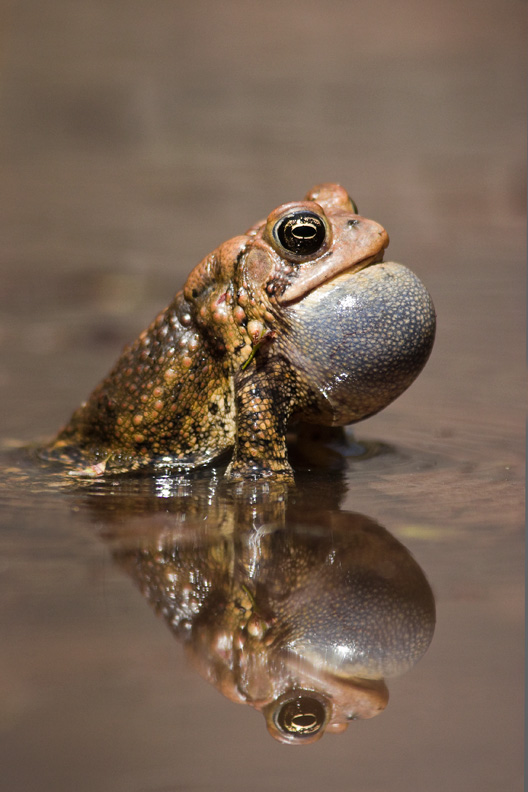 American Toad Calling, Bull Run Regional Park, Virginia, United States.
