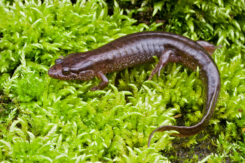 Northern Dusky Salamander on a Mossy Rock, Ellanor C. Lawrence Park, Virginia, United States.