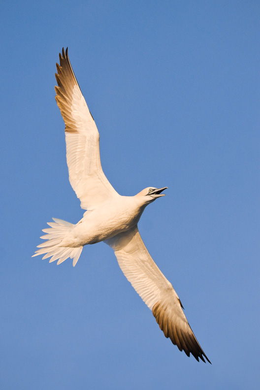 Northern Gannet Calling in Flight, Delaware Bay, United States.
