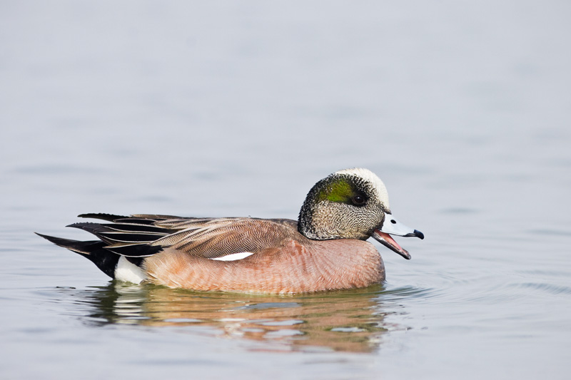Male American Wigeon Calling, Choptank River, Maryland, United States.