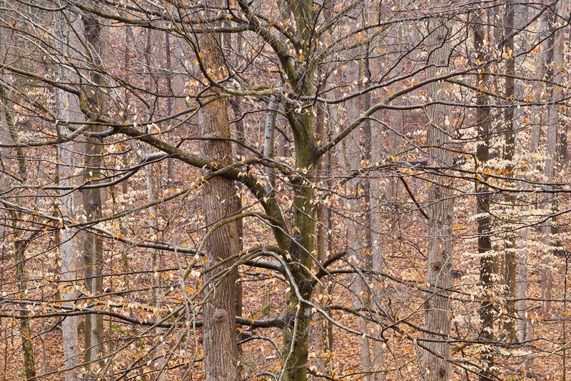 Beech Forest in Winter, Scott's Run Nature Preserve, Virginia, United States.