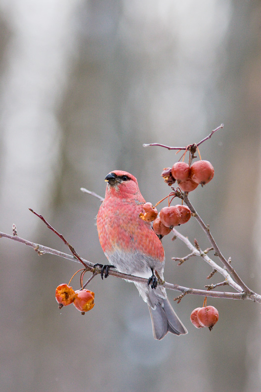 Male Pine Grosbeak, Damon Road, Erieville, New York