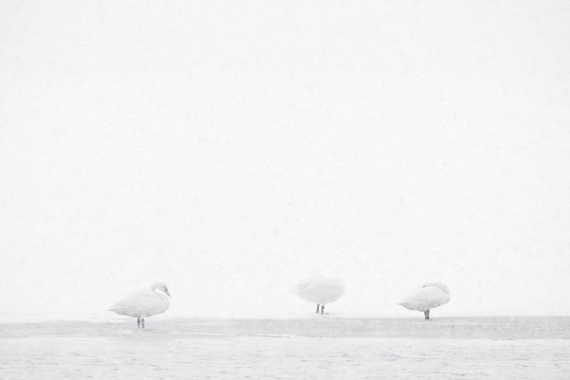 Tundra Swans in Whiteout, Oneida Lake, Bernhard's Bay, New York