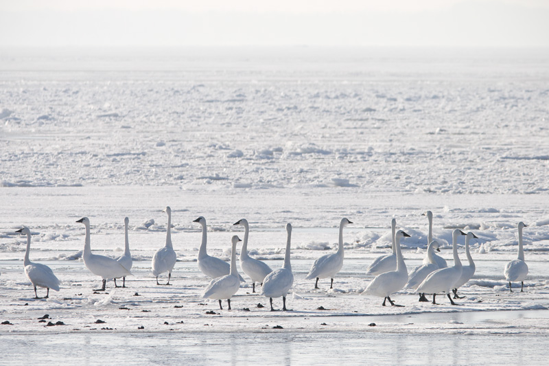 Tundra Swans on Ice, Oneida Lake, Bernhard's Bay, New York