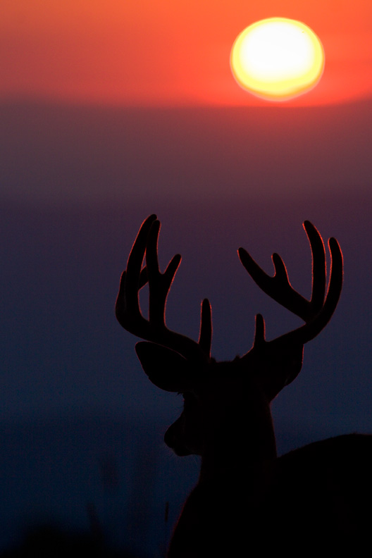 White-tailed Deer Buck Watching the Sunset, Shenandoah National Park, Virginia.