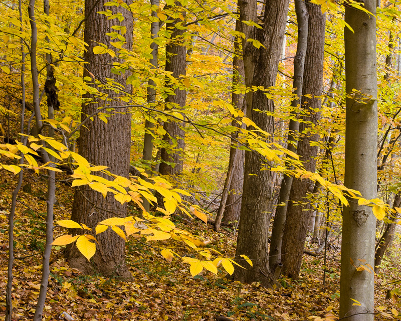 Autumn Beech Forest, Scott's Run Nature Preserve, Virginia.