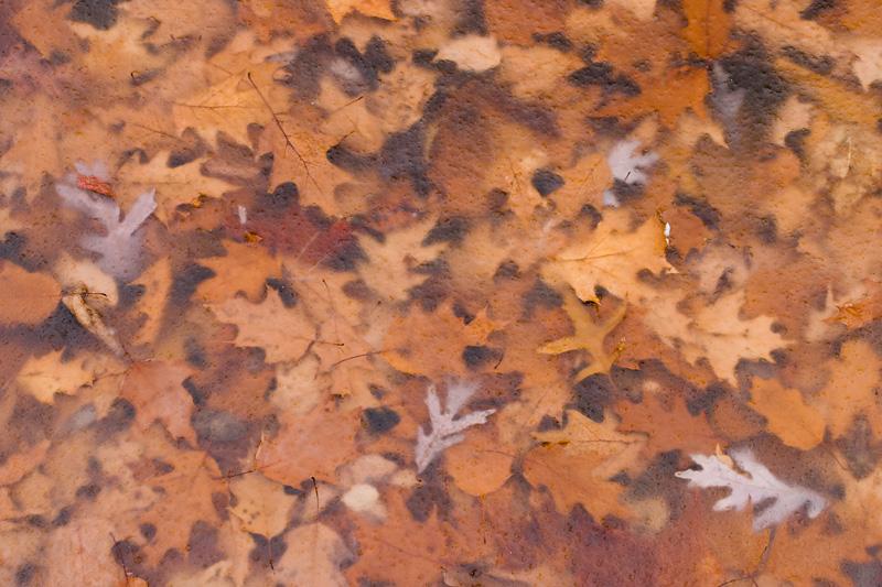 Oak Leaves Under Ice, Manassas Battlefield, Virginia.