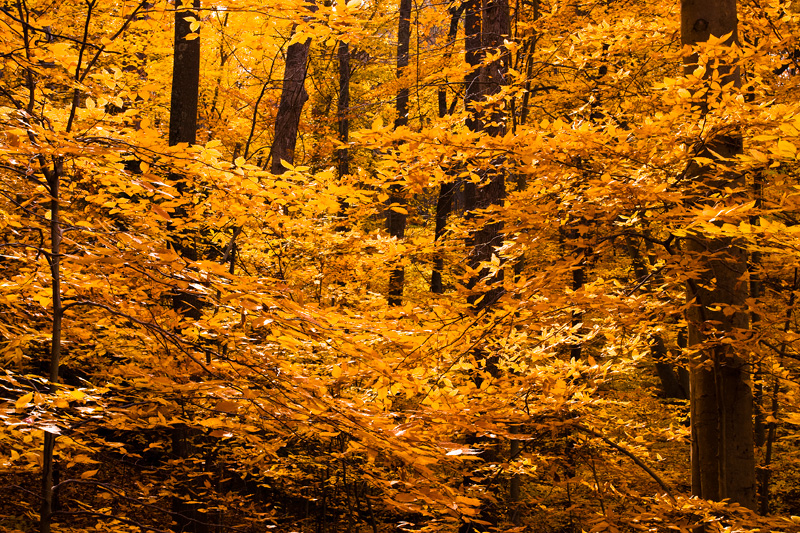 Autumn Beech Forest at Scott's Run Nature Preserve, Virginia.