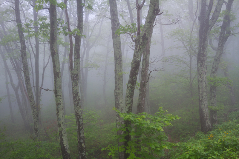"""Forgotten Forest"" - A foggy day in the forests of Shenandoah National Park, Virginia."