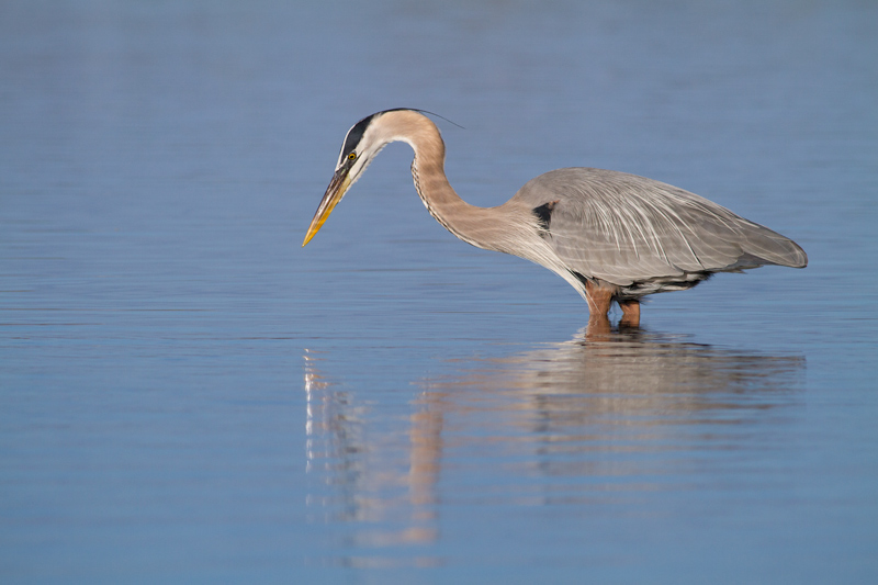 """Reflections Through a Fuzzy Lens"" - Great blue heron fishing for minnows, Fort De Soto Park, Florida."