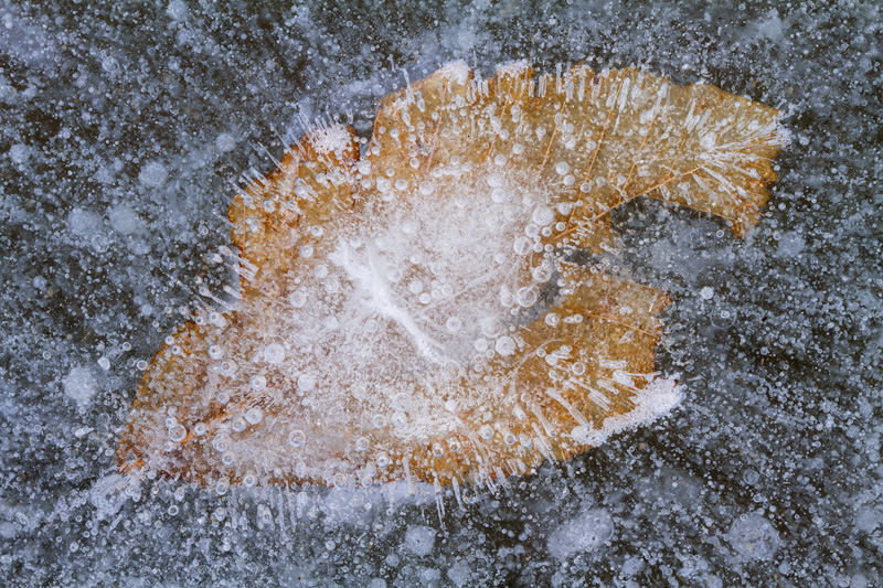 """Mason's Nebula"" - Ice patterns and beech leaf, Mason Neck State Park, Virginia."