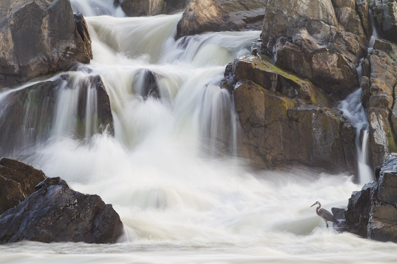 """Delicate Dance"" - Great blue heron fishing below a set of large cascades, Great Falls National Park, Virginia."