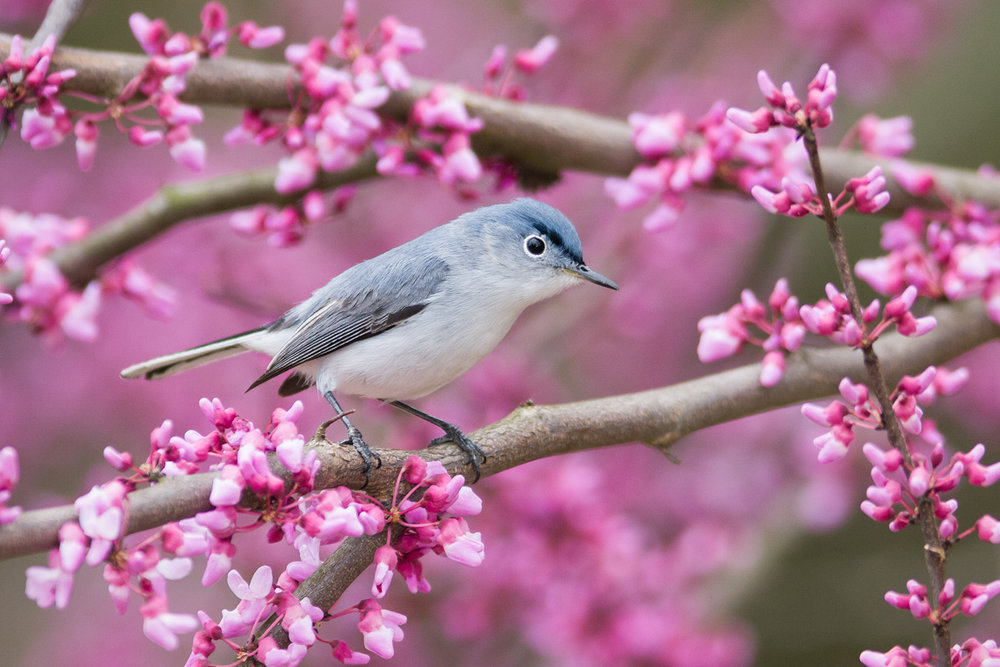 """Gnatcatcher in Redbud"" - A tiny blue-gray gnatcatcher perched among colorful eastern redbud flowers. Manassas Battlefield, Virginia."