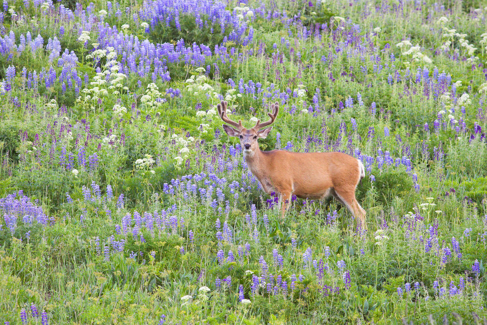 """Among the Flowers"" - A large mule deer buck walking among colorful summer flowers. Colorado."