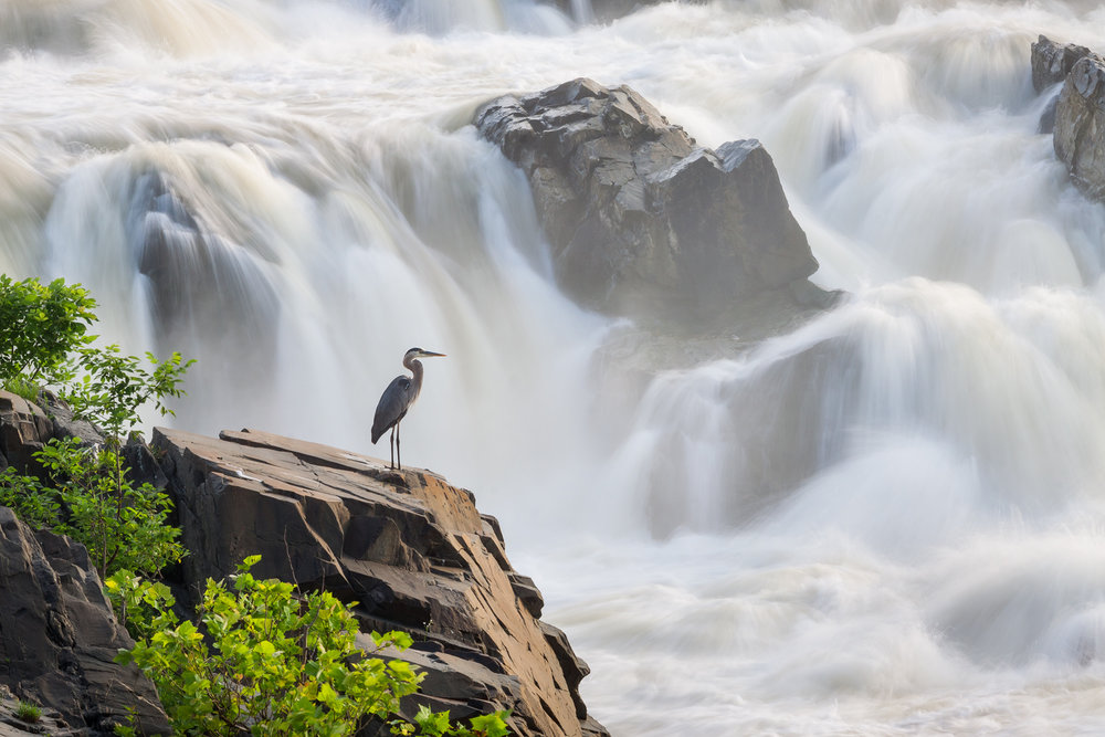 """Silence in Chaos"" - A great blue heron standing among the raging waters of the Potomac River. Great Falls National Park, Virginia."