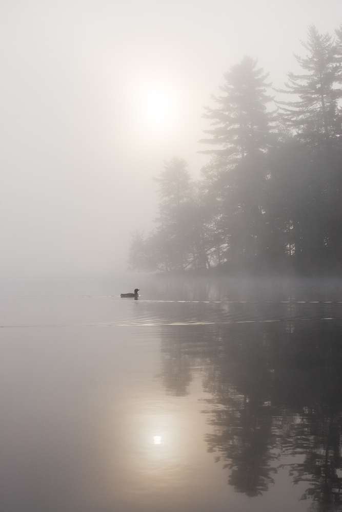 """Ghost of the Adirondacks"" - A common loon swimming along a foggy shoreline as the sun rises. Adirondack State Park, New York."
