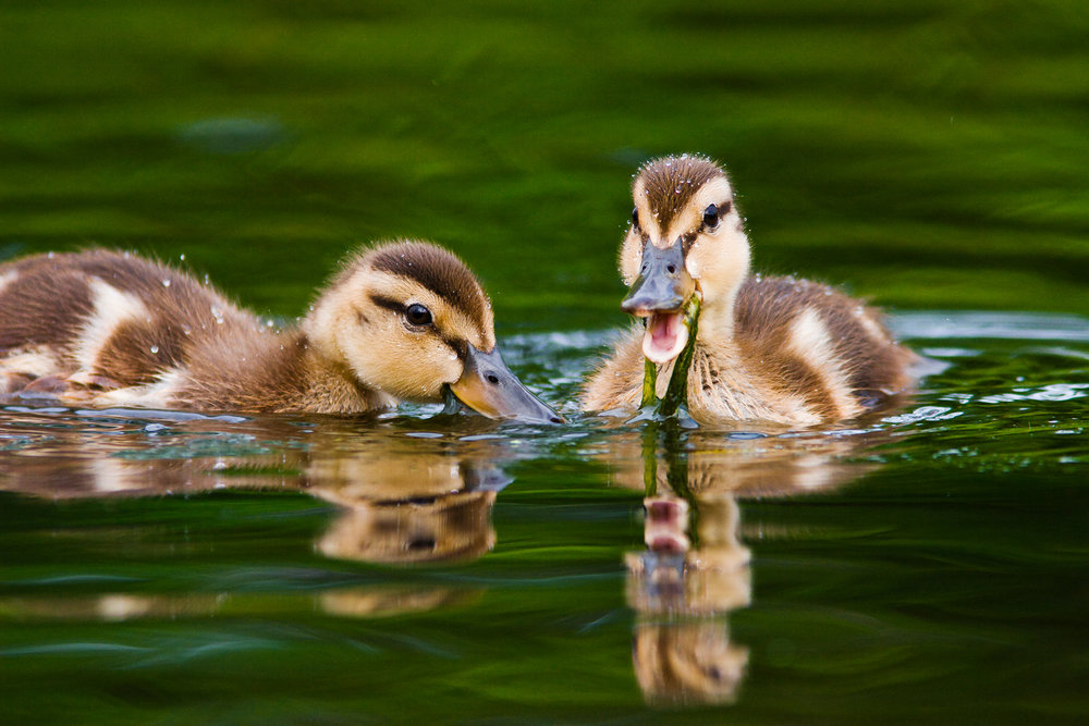 """Sibling Rivalry"" - Mallard ducklings squabbling over some tasty and nutritious algae. Virginia."