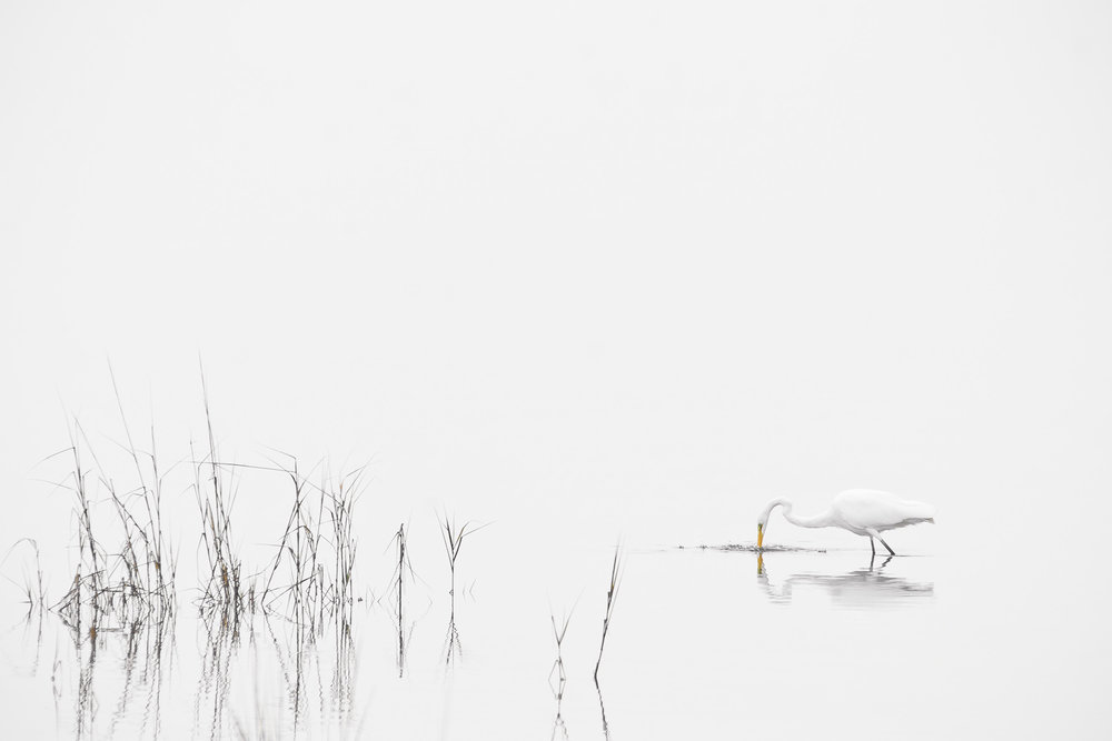 """High Key Egret"" - A lone great egret fishing before a storm arrives. Chincoteague National Wildlife Refuge, Virginia."