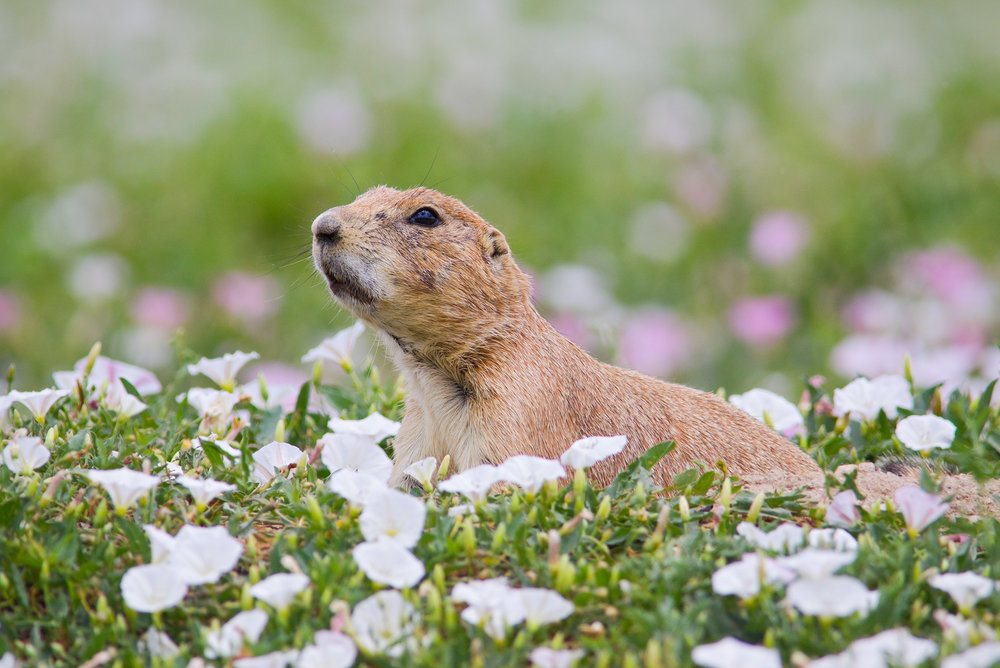 """Sparky"" - A black-tailed prairie dog in a field of beautiful pink and white flowers. Colorado."