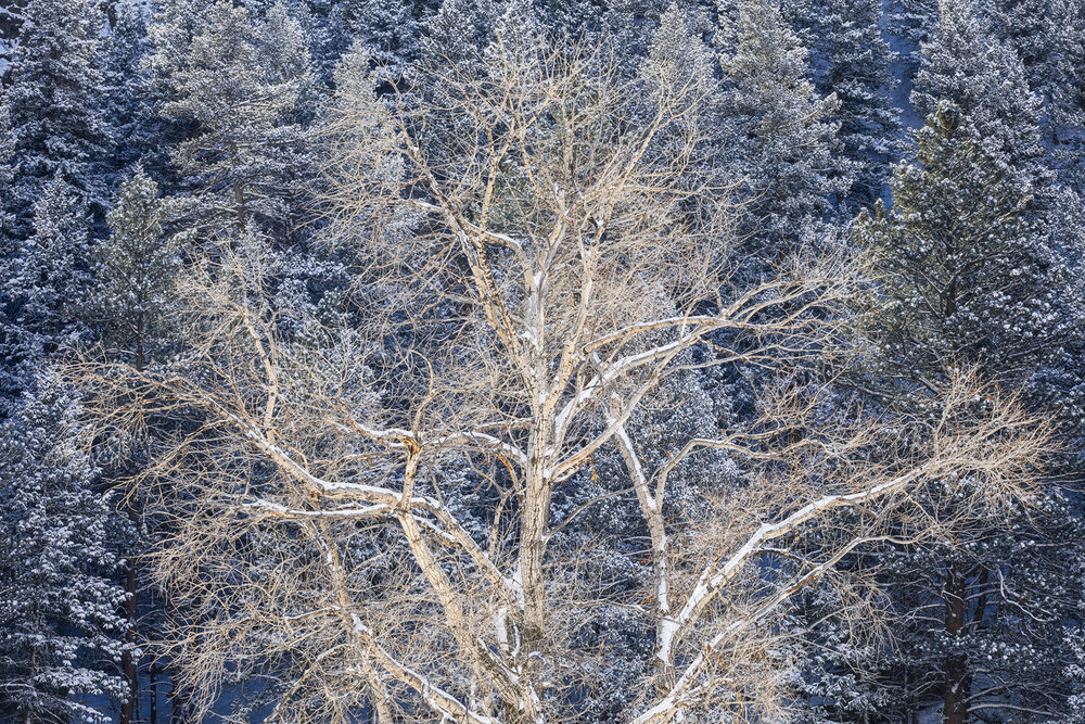 """Growth Through Understanding"" - A lone cottonwood tree catches strong morning sunlight as it stands strongly against a backdrop of shaded, snowy pines. Poudre Canyon, Colorado."