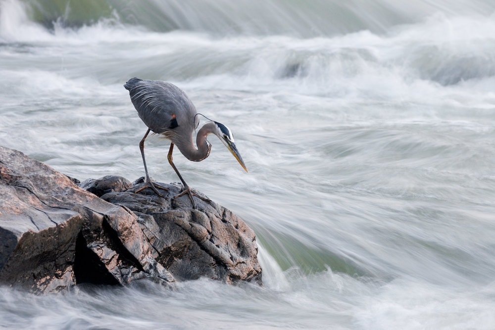 great-blue-heron-hunting-patiently.jpg