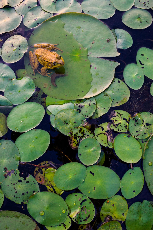 frog-lilypad-pattern-camouflage.jpg