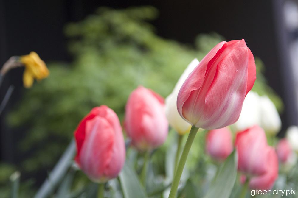 tulipsmultiple