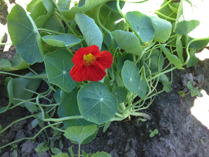 Nasturtium   -   Pop the flower off and add to dishes like salads or omelettes for a strong and spicy   peppery flavor and lots of bright, gorgeous color! Leaves and stems are also edible and produce a milder but   similar flavor.