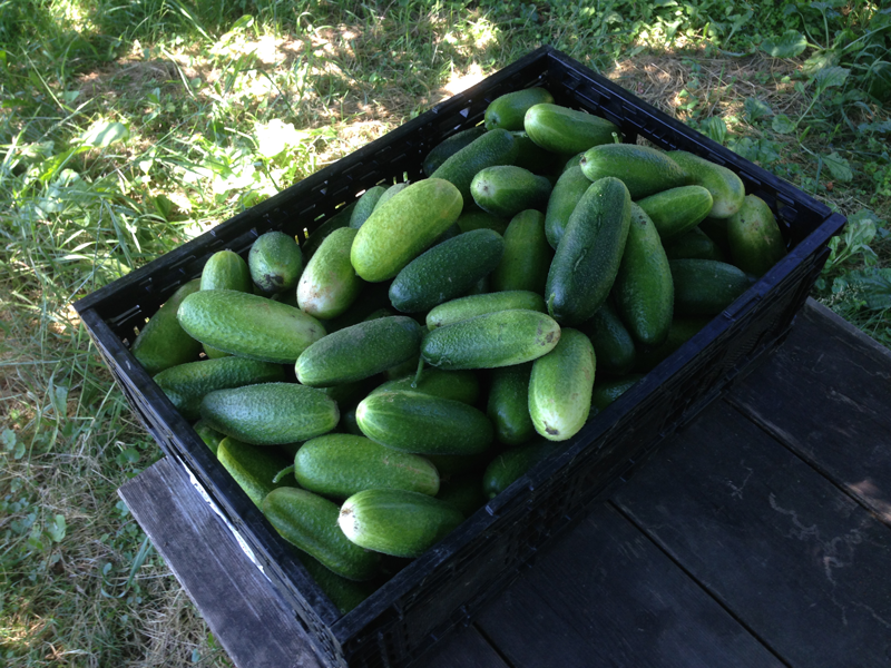 PicklingCukes.png