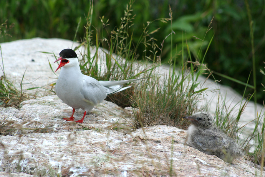 arctic tern nesting