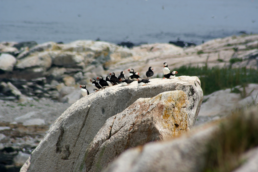 puffins matinicus rock