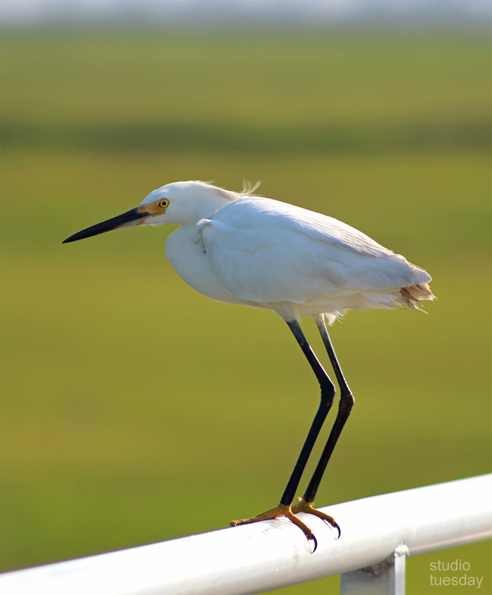 Snowy Egret at the Wetlands Institute, New Jersey