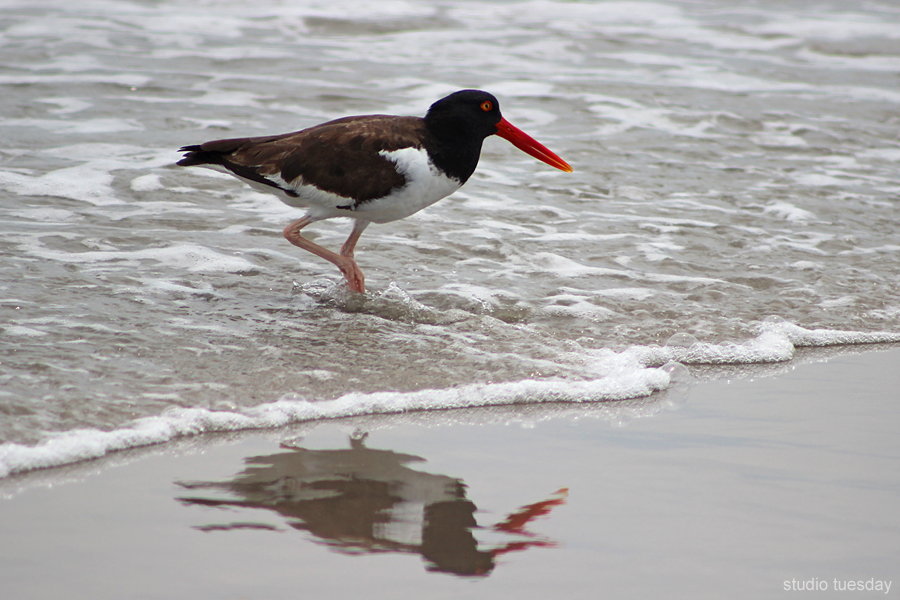 My favorite shorebird, an American Oystercatcher