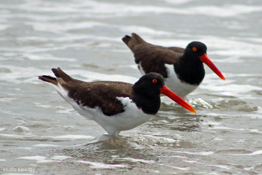 American Oystercatchers wading