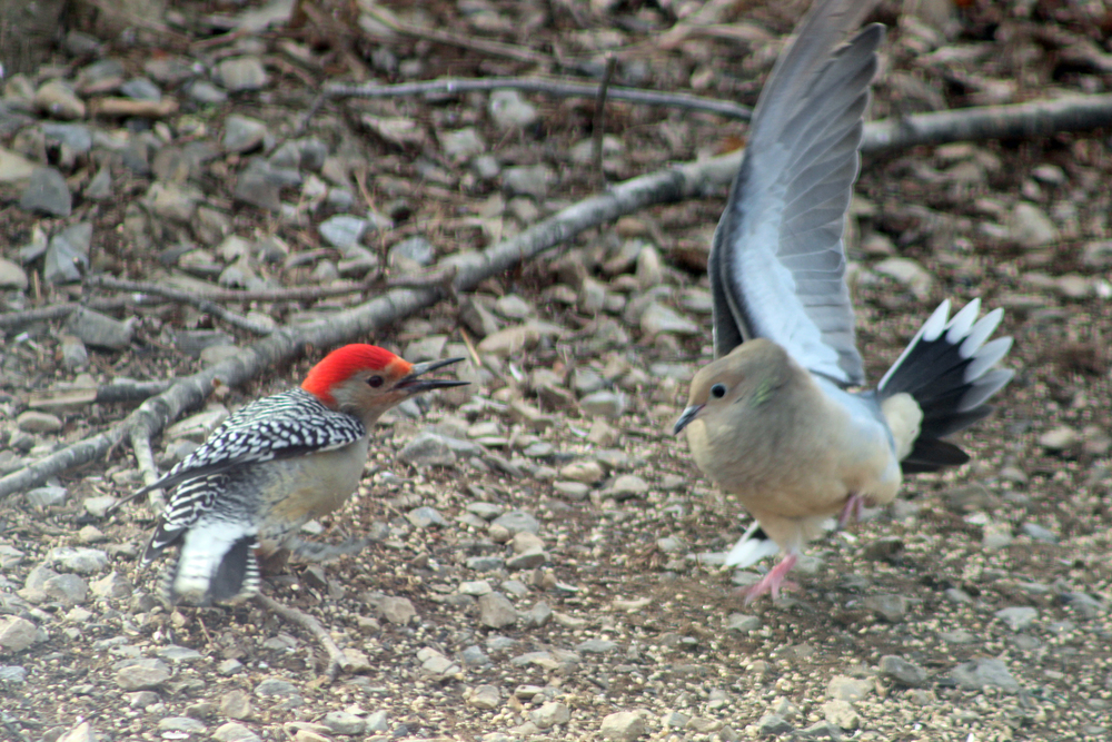 red-bellied woodpecker and dove - studio tuesday blog