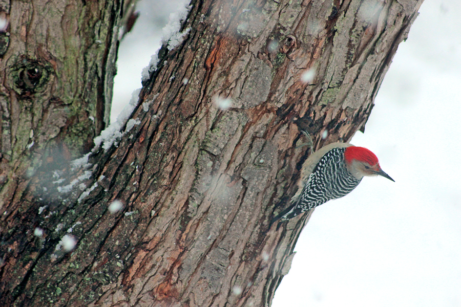 red-bellied woodpecker - studio tuesday blog