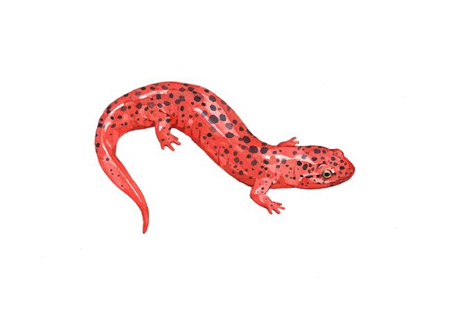 salamander watercolor