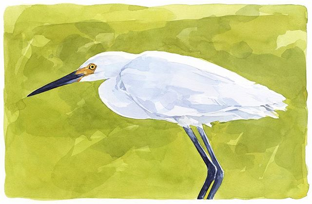Painted this #snowyegret last year. Love seeing these guys wading around the #saltmarsh  #wetlandsinstitute #egret #watercolor #birdpainting #njbeaches #njnature #wildnj #stoneharbor