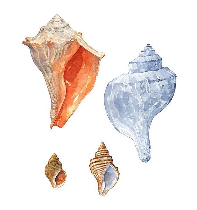 Whelk shells for the #seashellsofnewenglandbook  Clockwise from top: a knobbed whelk, channeled whelk, ten-ridged whelk, and wavy whelk.