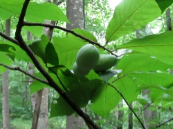 There are many Paw Paw trees found in the forests at Wild Earth.