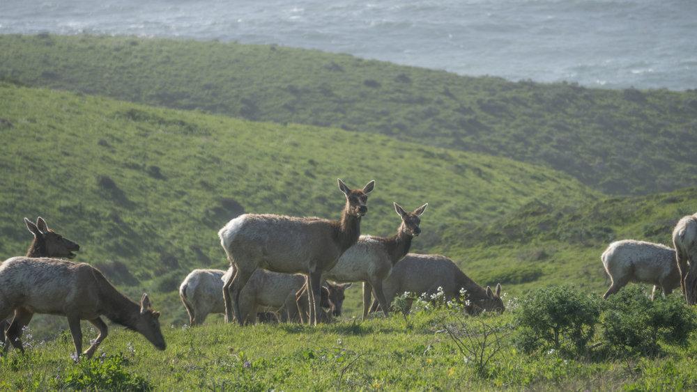 Cow Elk 2.jpg