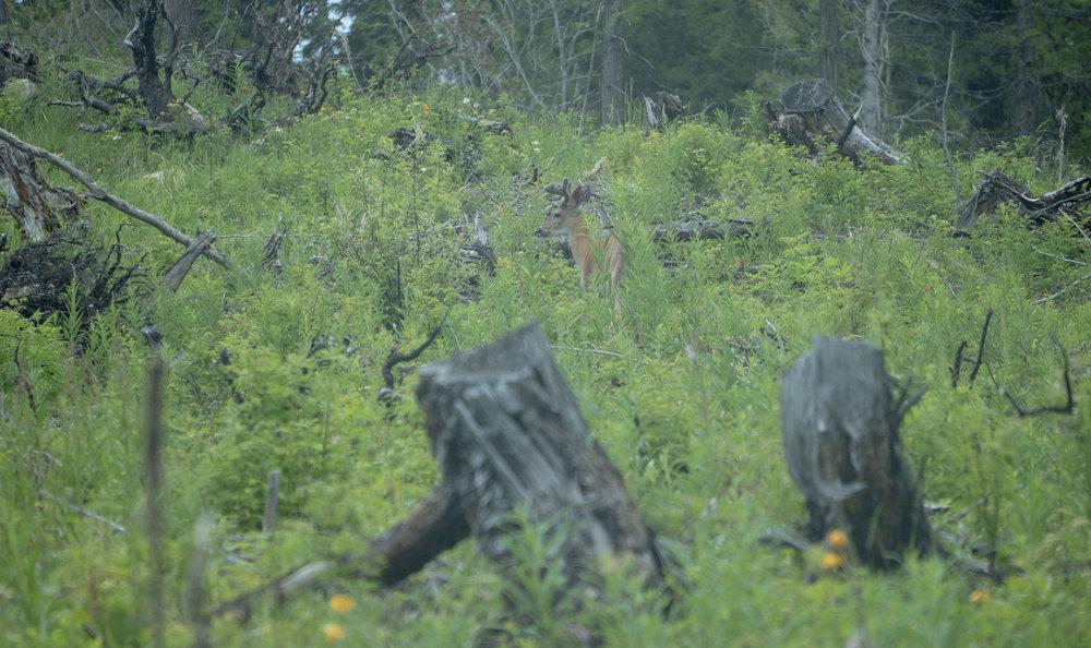 Deer 4.jpg