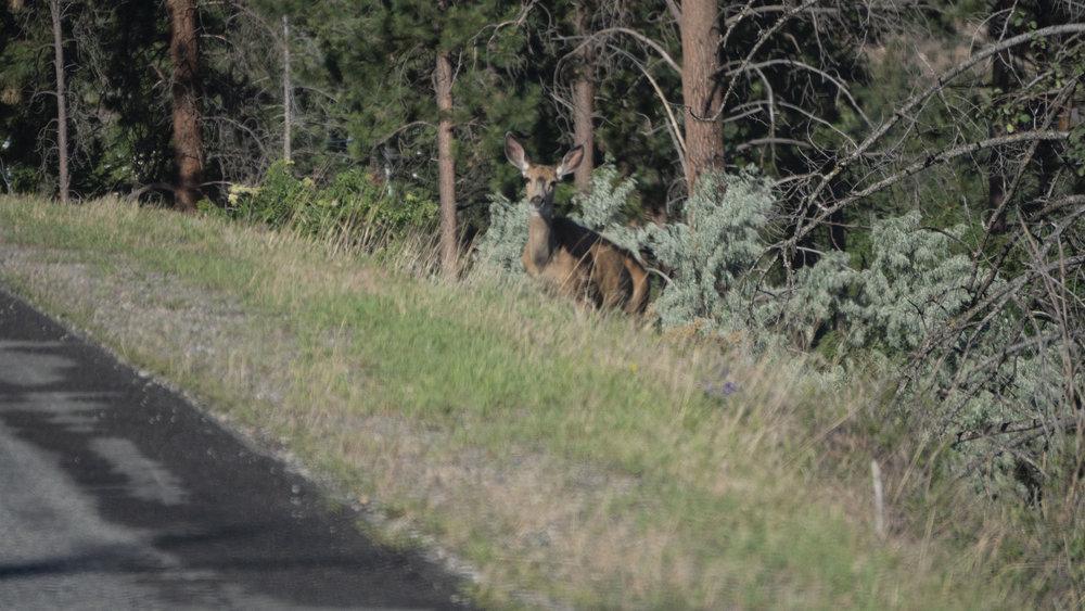 Deer 5.jpg