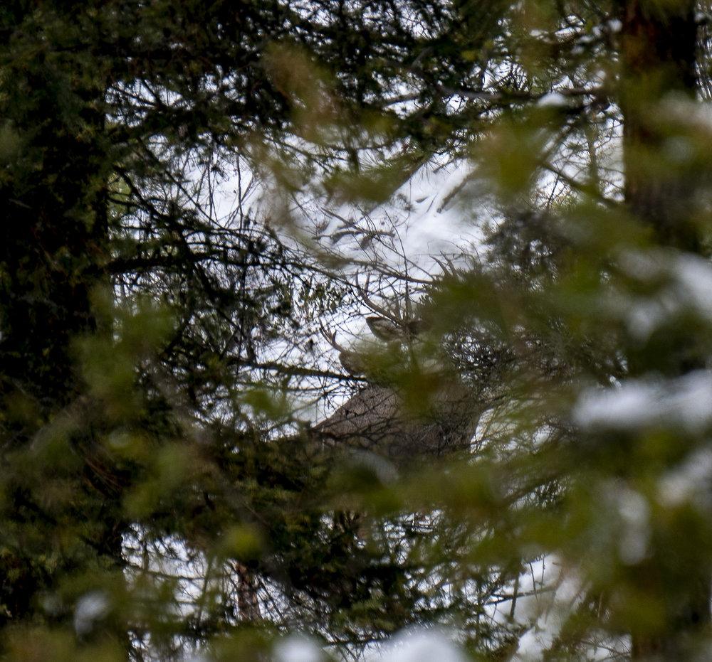 Deer Looking 2.jpg