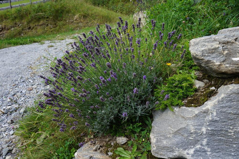Austrian lavender.