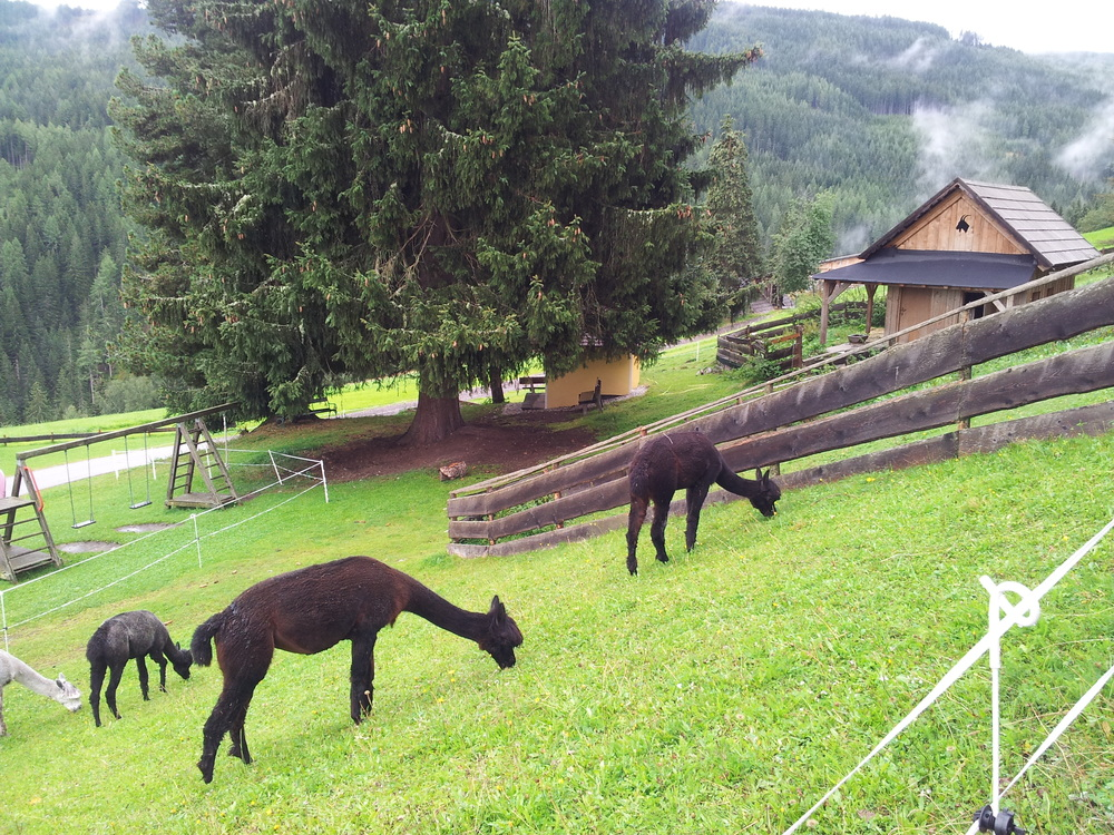 Alpacas in Austria?!