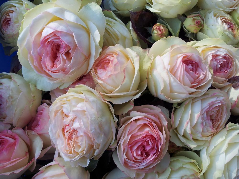 Local un-sprayed roses