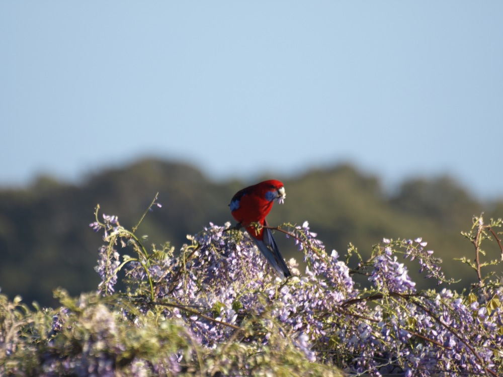 Rosella on wysteria.jpg